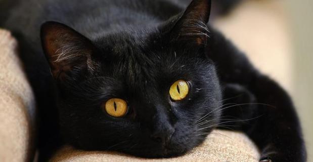 Gato preto emperigo